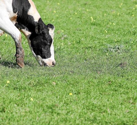 Die Idealvorstellung: Glückliche Kühe, die sich ausschließlich vom Gras auf der Weide ernähren.