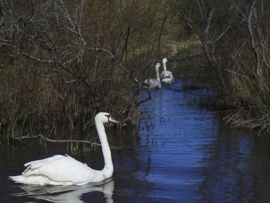 """Erstes Schwanen-Bad in Port d'Andratx: Nach einem halben Jahr """"Exil"""" sind die majestätischen Vögel wieder in heimischen Gefilden"""