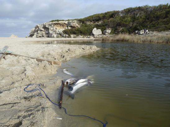Fischsterben im Flussbett des Torrents von Son Bauló bei Can Picafort.