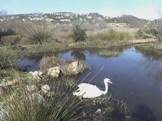 Die Schwäne von Port d'Andratx sind bei Naturschützern in dem Feuchtgebiet des Ortes nicht gerne gesehen.