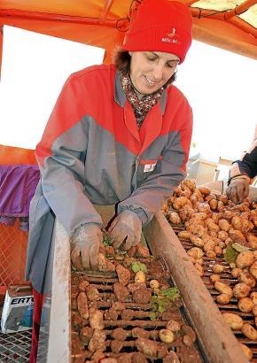 Beim Sortieren ist immer noch Handarbeit gefragt: Kartoffelernte in Sa Pobla.