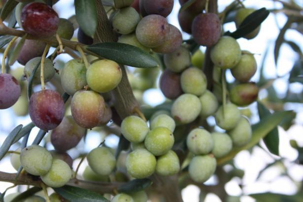 Die Oliven aus Mallorca müssen nach traditionellen Methoden gewürzt und verarbeitet werden.