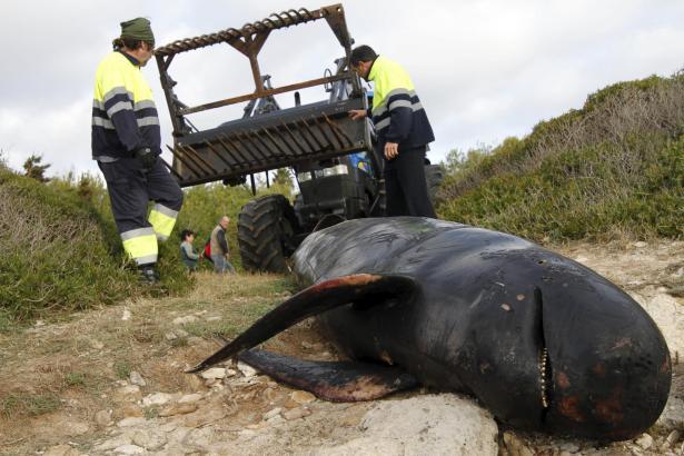 Dieser tote Wahl wurde im Januar auf Menorca angespült.