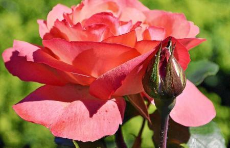 Rosen gelten als die schönsten Blumen der Welt.