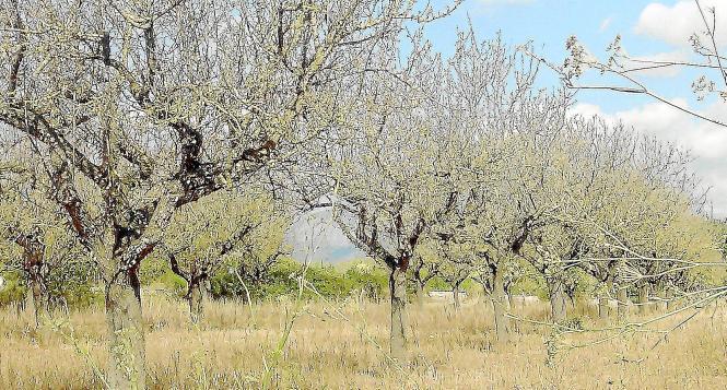 Beim Mandelsterben spielt mangelnde Pflege eine Rolle. Wird ein Baum regelmäßig geschnitten, gedüngt und gewässert, ist ein Pilz