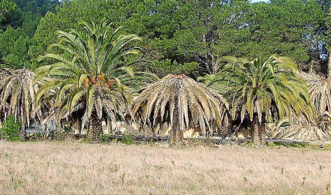 Die vom Palmrüssler befallenen Bäume geben ein jämmerliches Bild ab.