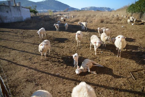 """Ein verendetes Schaf auf der """"Todesfinca"""" am Camí del Prat bei Andratx."""