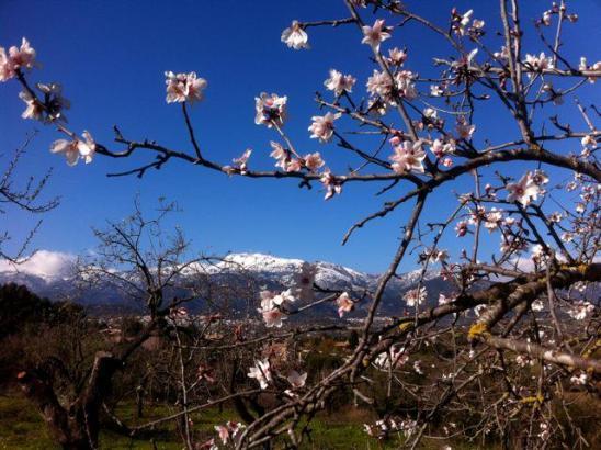 Bergschnee, Mandelblüten und blauer Himmel: So wird das Mallorca-Wetter in den kommenden Tagen.