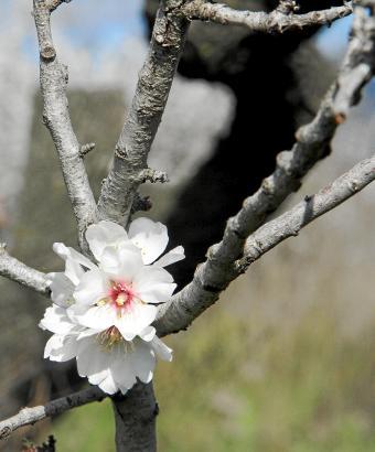 Der traditionelle Trockenanbau der Mandelbäume auf Mallorca ist arbeitsintensiv.