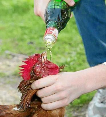 Dieses Foto soll zeigen, wie ein Jugendlicher einem Huhn Alkohol einflößt. Es stammt aus dem Jahr 2014.