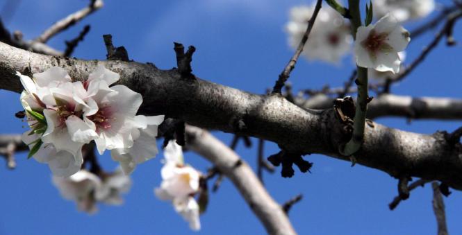Endlich Frühlingswetter auf Mallorca. Foto: UH