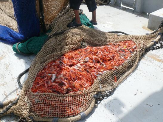 Die Rote Gamba aus Mallorca gilt mit als die beste der Welt. Foto: UH