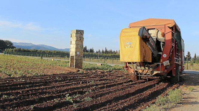 Diese Woche hat auf Mallorca die Kartoffelernte begonnen.