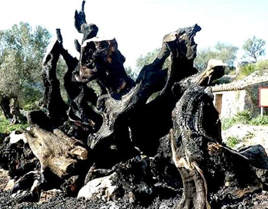 Der verbrannte Olivenbaum von Mortitx auf Mallorca.