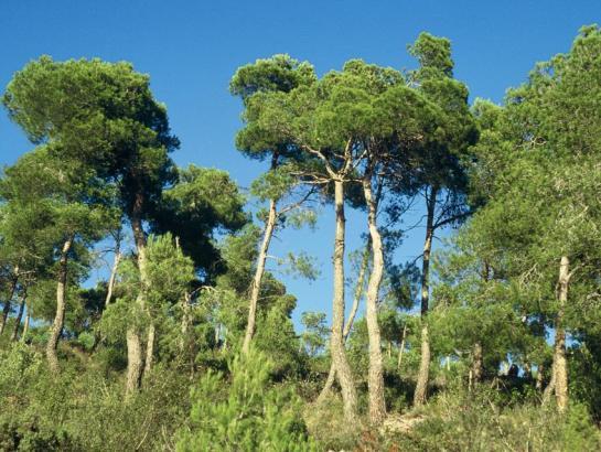Kiefernwald auf Mallorca.