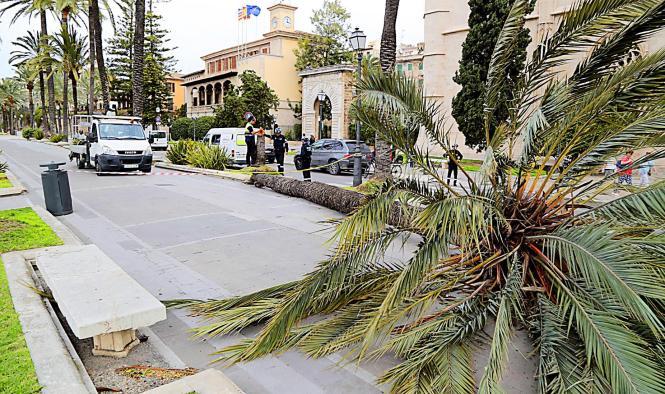 Die Palme auf der Uferpromenade, rund 100 Jahre alt, brach im unteren Stammbereich.