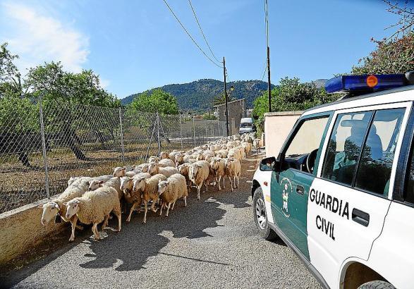Die Guardia Civil überwachte den Abtransport der Schafe.