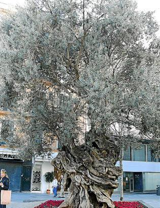 Vor dem Rathaus in Palma steht ein uralter Olivenbaum - ein bei Touristen beliebtes Fotomotiv.