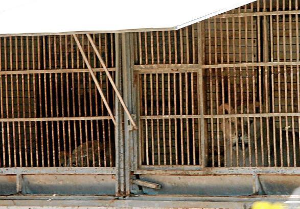 Das Löwenpaar lebt auf einem Privatgrundstück