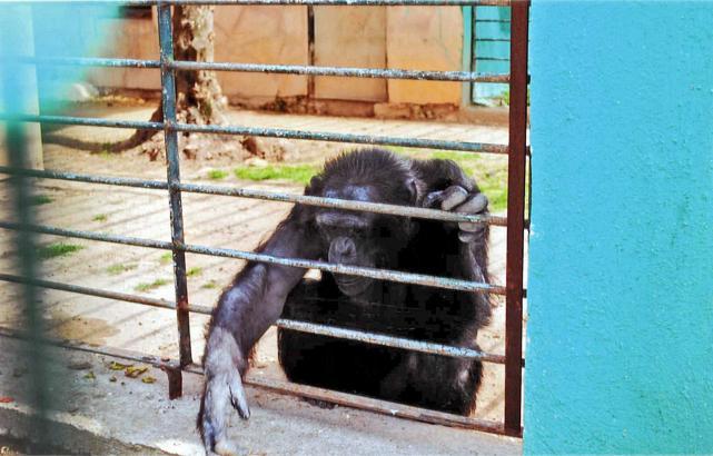 Zwei Schimpasen lebten im Safari-Zoo