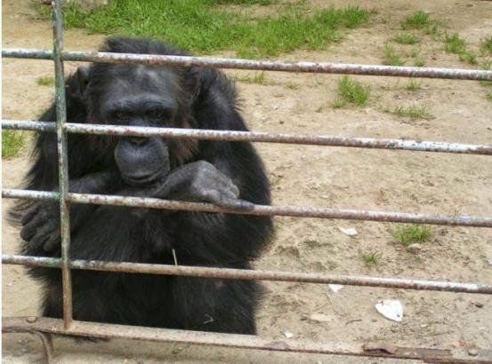 Der Safari-Zoo will zunächst keine Schimpansen mehr halten