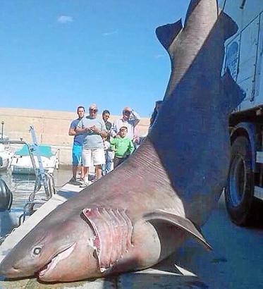 Der vor Mallorca geborgene tote Schlafhai.