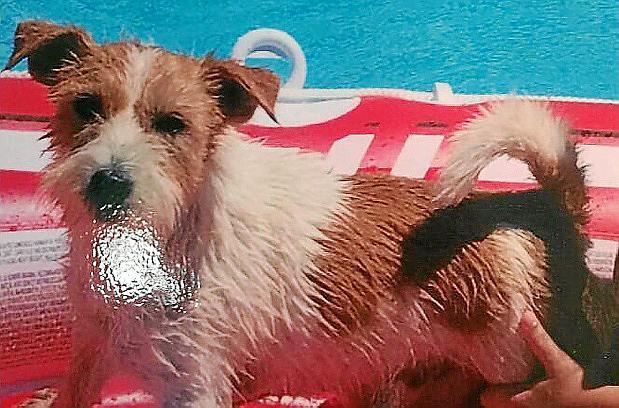 """Wohlbehalten zurück: Jack-Russell-Terrier """"Gio"""" auf Mallorca."""