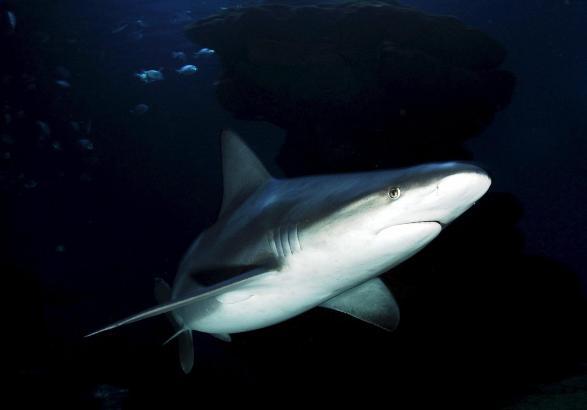 """Sagenumwobenes Unterwassertier: Seit der Filmreihe """"Der weiße Hai"""" ist der Raubfisch für viele der Inbegriff des Bösen."""