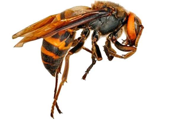 Bis zu 3,2 Zentimeter groß wird die asiatische Hornisse. Auf Mallorca wurde sie bisher nur in Sóller gesichtet.