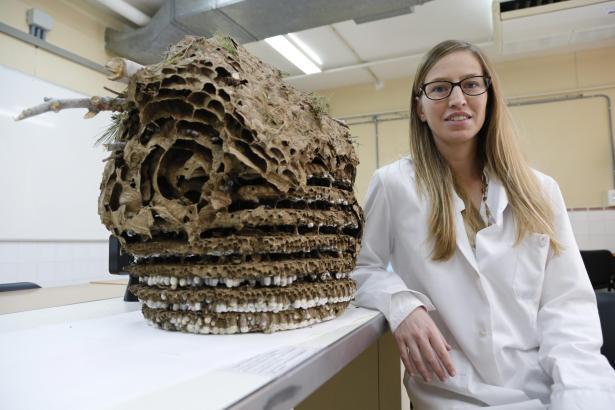 Doktorandin María del Mar Leza untersucht das Hornissennest