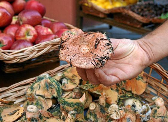 Frisch aus dem Wald: Der balearentypische Esclata-Sang ist Namensgeber der Pilzmesse in Mancor de la Vall.