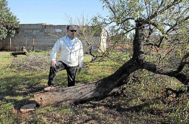 Untröstlich: Finca-Besitzer Mateu Ramis vor einem der gefällten Bäume, den die Diebe nicht mehr mitgenommen haben.
