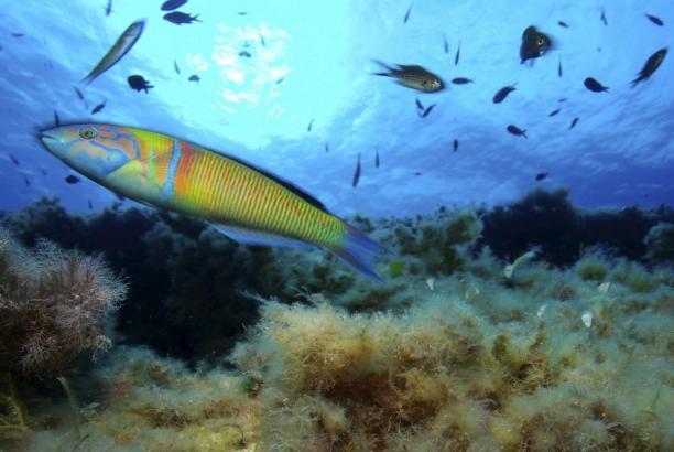 Unterwasser-Impressionen vom Balearenmeer.