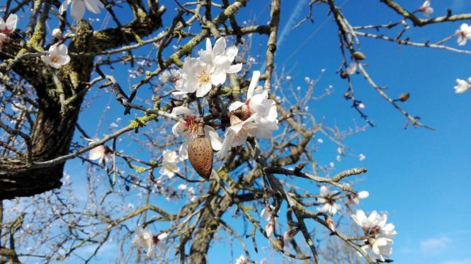 Dieser eindrucksvoll blühende Baum wurde am Mittwochmorgen an der Landstraße nach Puigpunyent gesichtet.