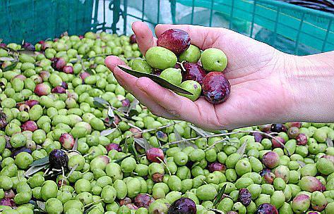 Die Ernte der grünen Früchte ist abgeschlossen, jetzt werden die schwarzen gepflückt.