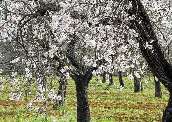 Rund vier Millionen Mandelbäume stehen derzeit auf Mallorca in Blüte.
