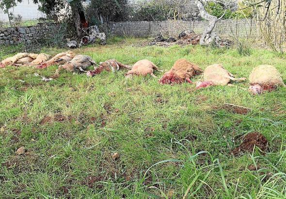 Die Hunde haben mehrere Schafe getötet