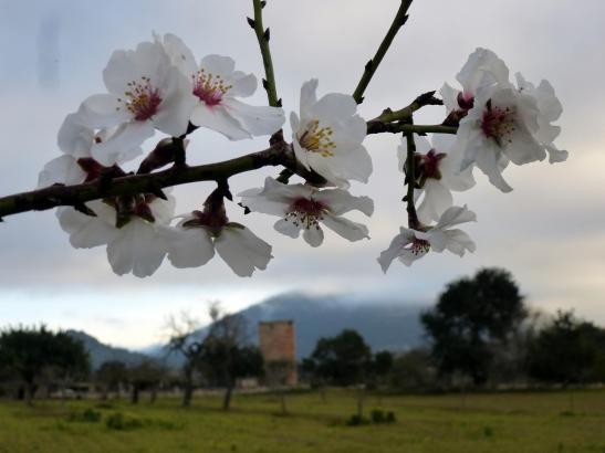 Ganz schön früh dran – Die Mandel steht bereits in voller Blüte.