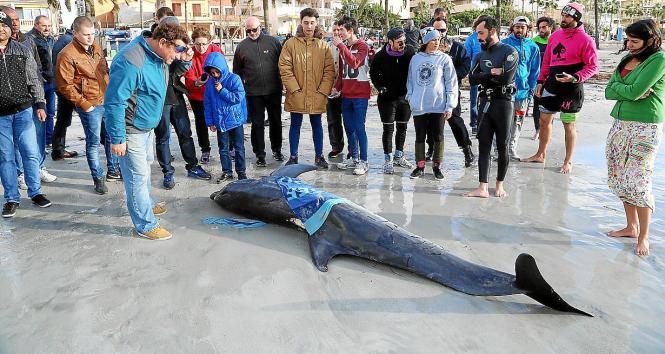 Der tote Delfin sorgte auf Mallorca für Aufsehen.