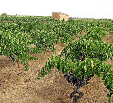 Weinbaulandschaft rund um Binissalem.