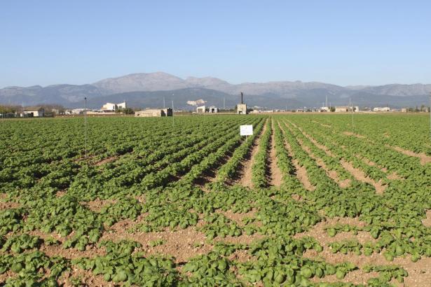 Sollen besser geschützt werden: Kartoffelfelder bei Sa Pobla.