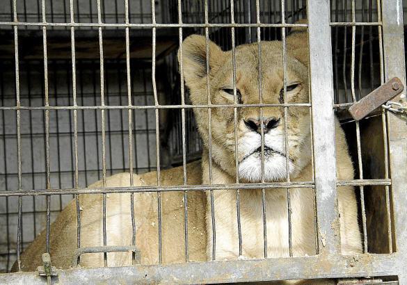 Die Haltung von Löwen ist auf Mallorca ein umstrittenes Thema