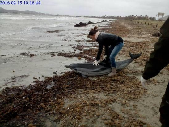 Eine Tierärztin kümmert sich um den gestrandeten Delfin