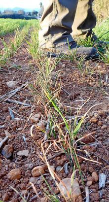 Durch den fehlenden Regen sind die Weiden vertrocknet