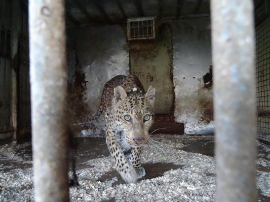Drei Raubkatzen, darunter dieser Leopard, wurden in Son Servera von den Behörden mitgenommen
