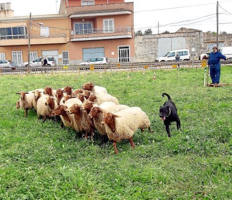 Joan Vicenç kommandiert seinen Schäferhund lautstark