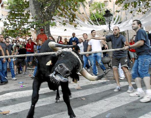 Der traditionelle Stierlauf in Fornalutx findet ununterbrochen seit 1892 statt.