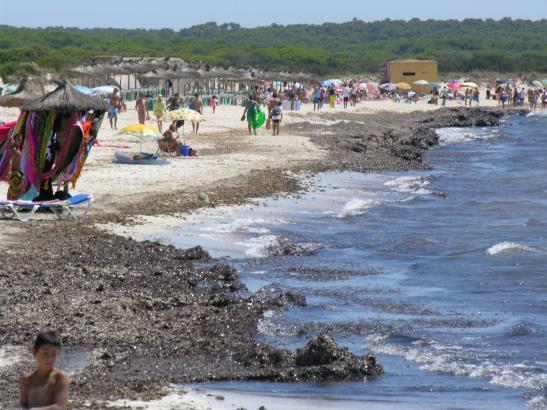 Das Archivfoto zeigt den Es-Trenc-Strand vor dem Abräumen der Algenreste.