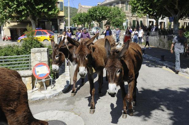 Die Esel werden Esporles im Westen von Mallorca von Unkraut befreien.