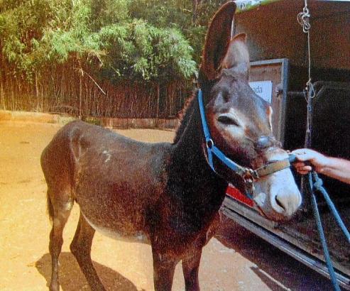 Der Halterungsgurt soll dem Esel in Costitx im Herzen von Mallorca tiefe Wunden zugefügt haben.